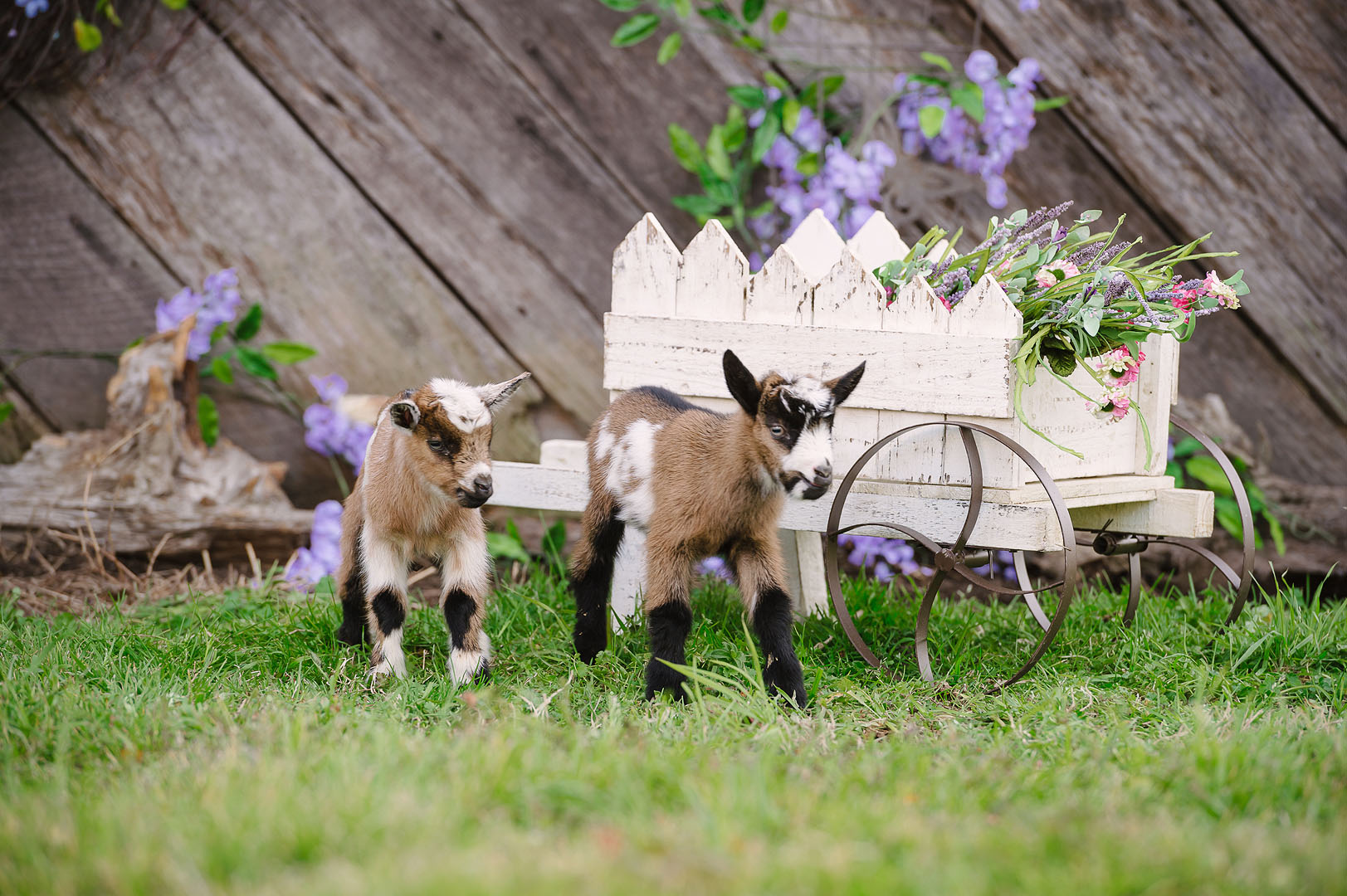 Spring Baby Goat Portrait Sessions